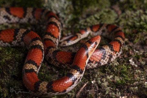 Serpiente de Coral - 480x320