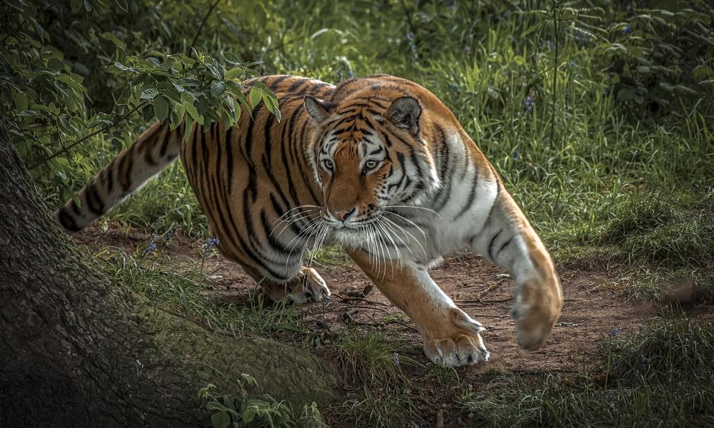 Tigre corriendo - 1000x600