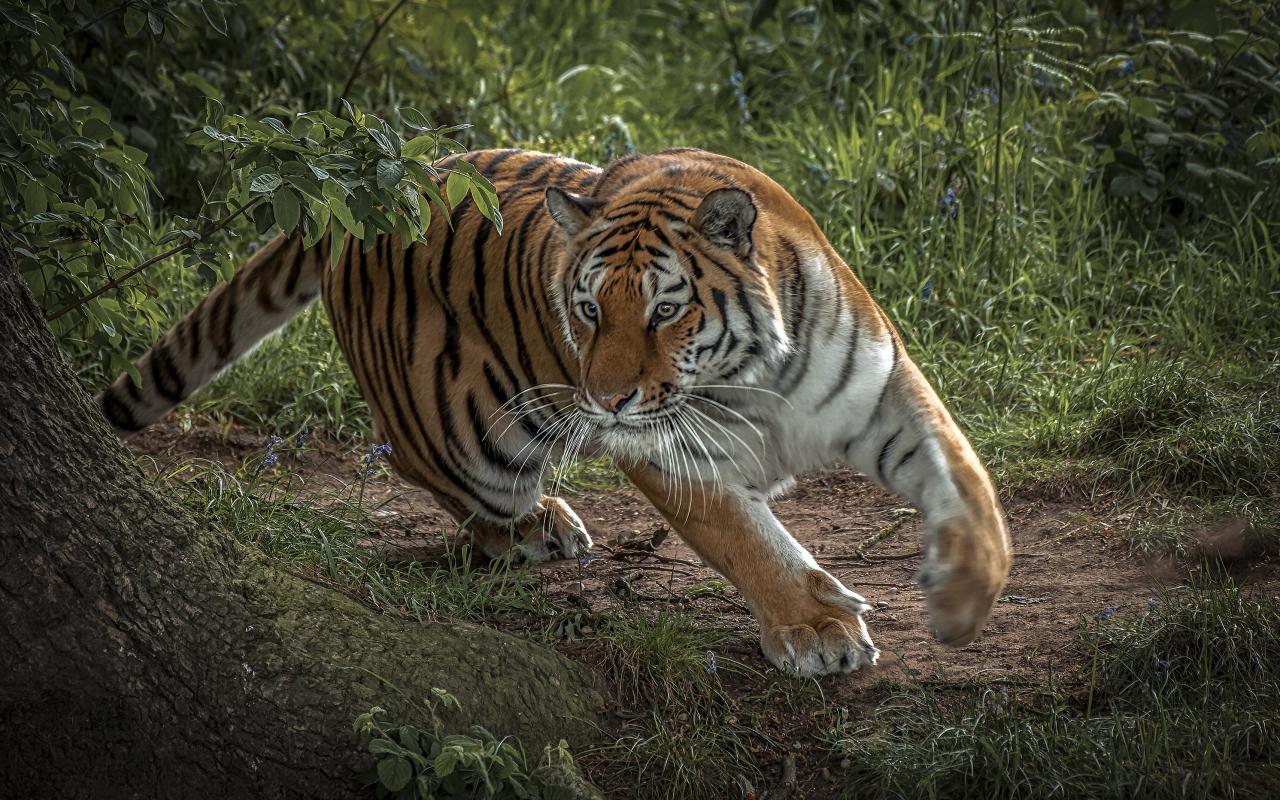 Tigre corriendo - 1280x800