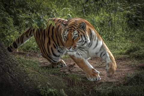 Tigre corriendo - 480x320