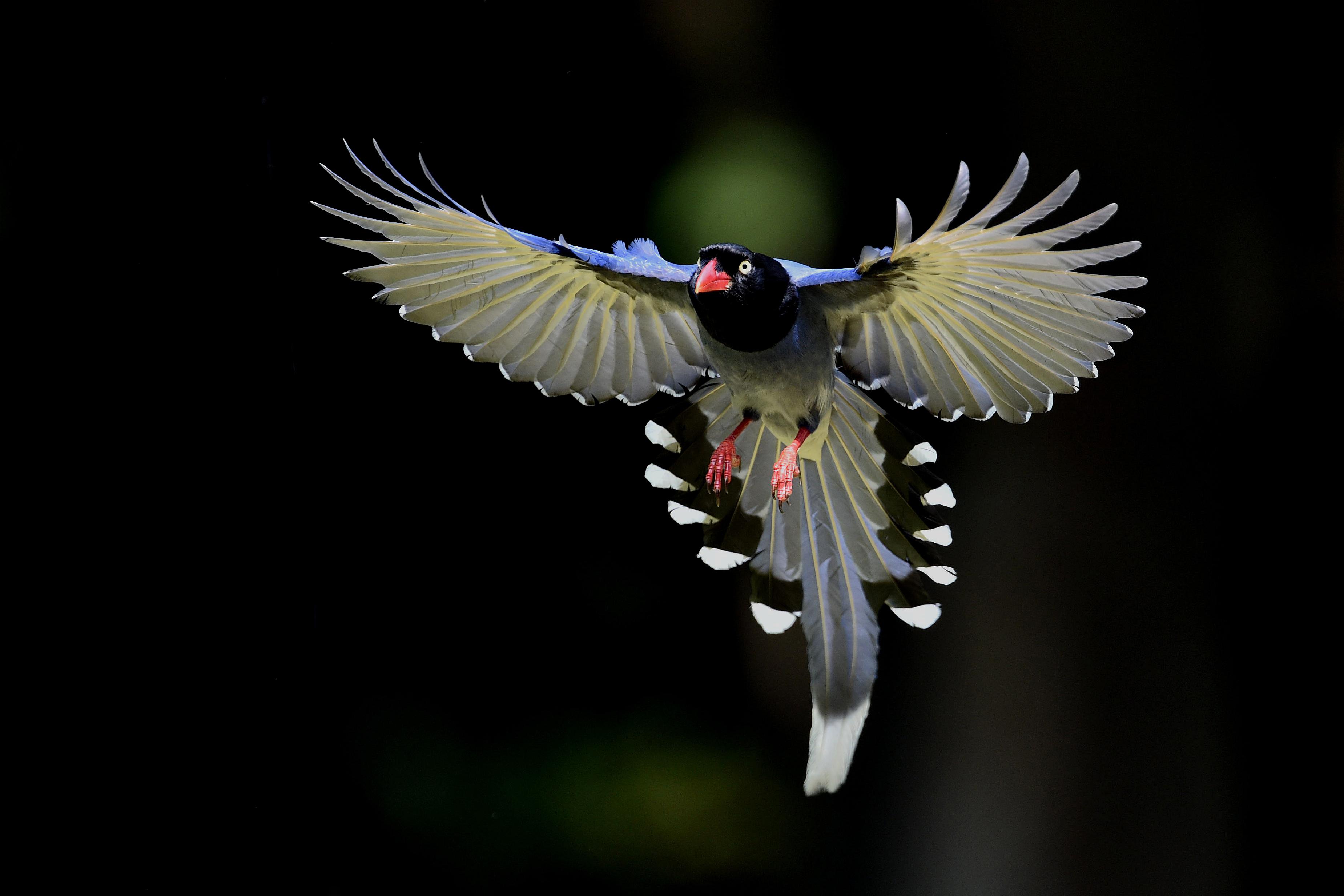 Taiwan Blue Magpie - 3698x2465