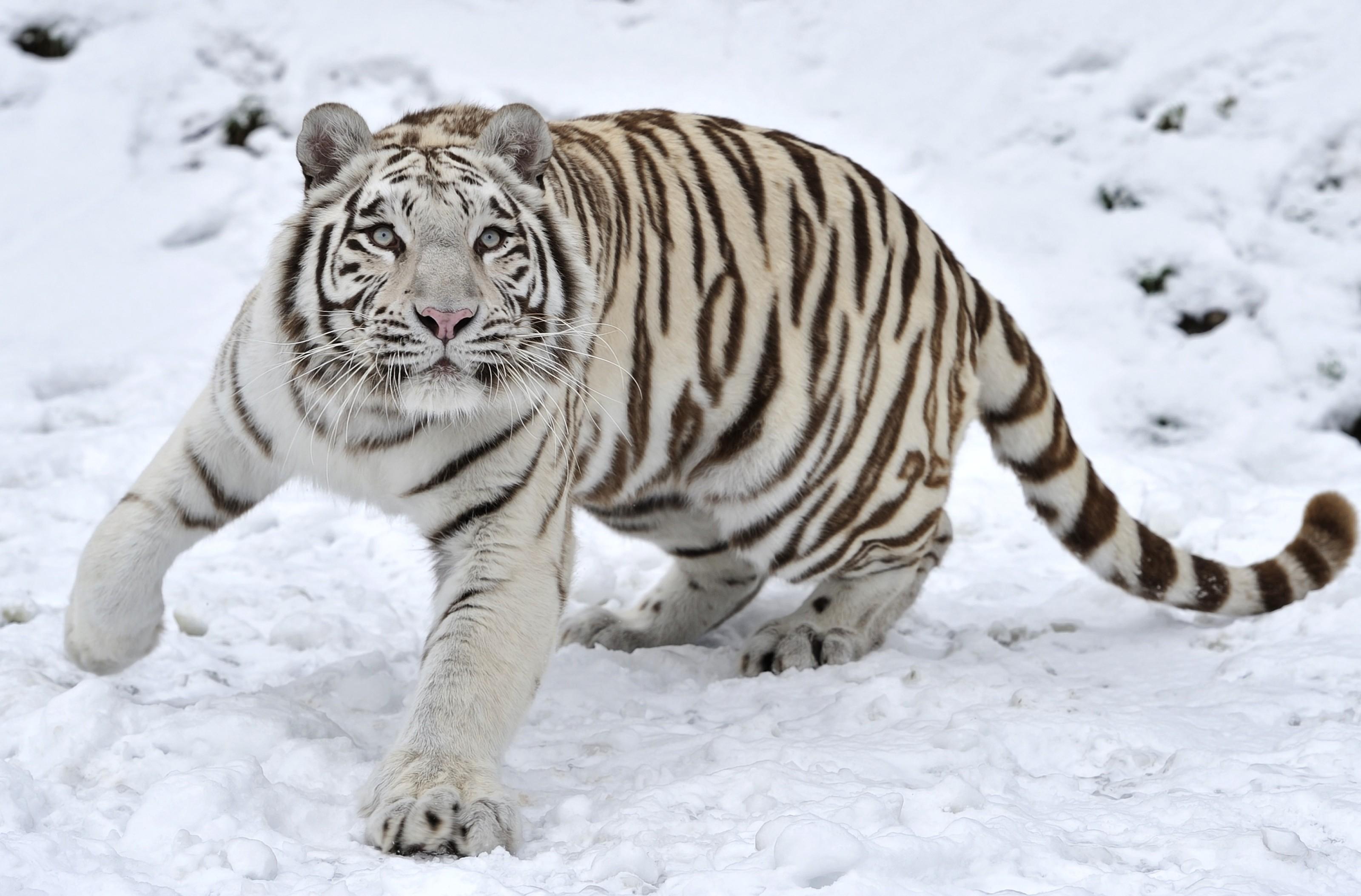 Tigre blanco - 3200x2106