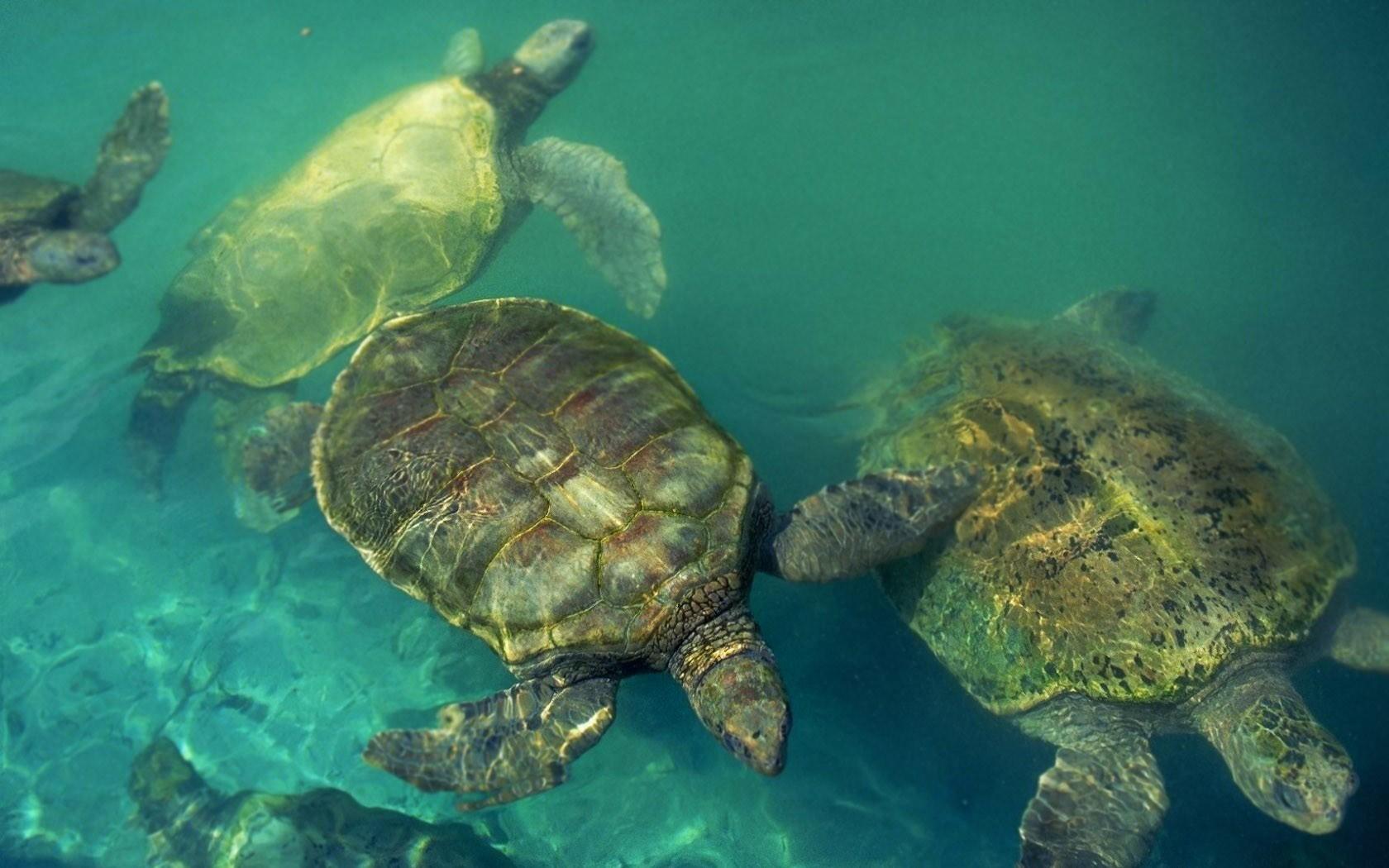 Tortugas buceando - 1680x1050