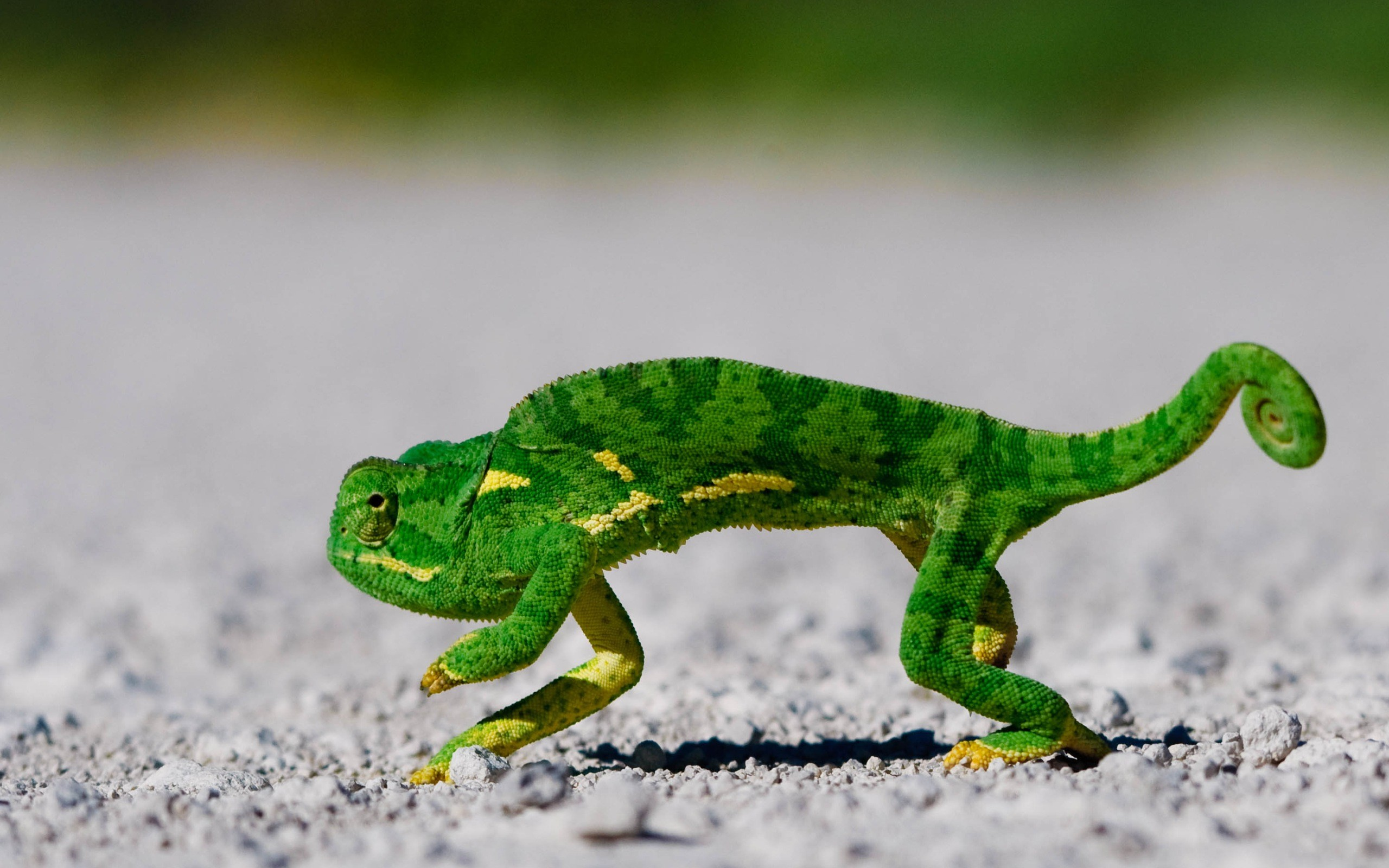 Un camaleón verde - 2560x1600