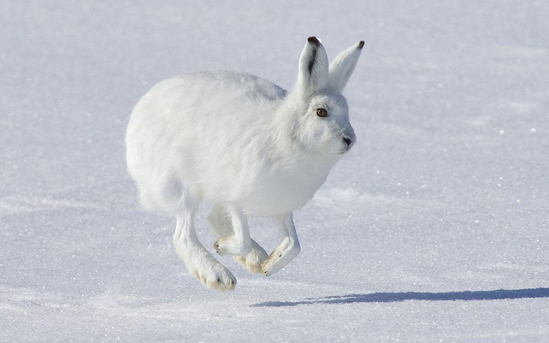 Un conejo blanco saltando - 1440x900