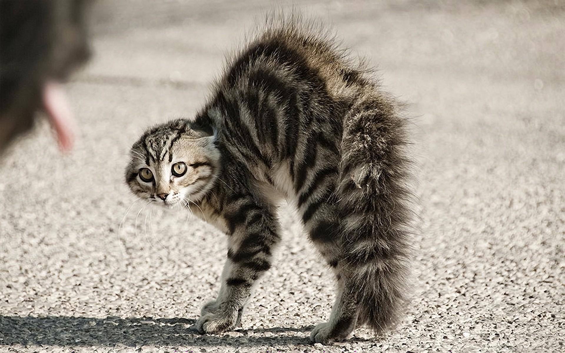 Un gato erizado - 1920x1200