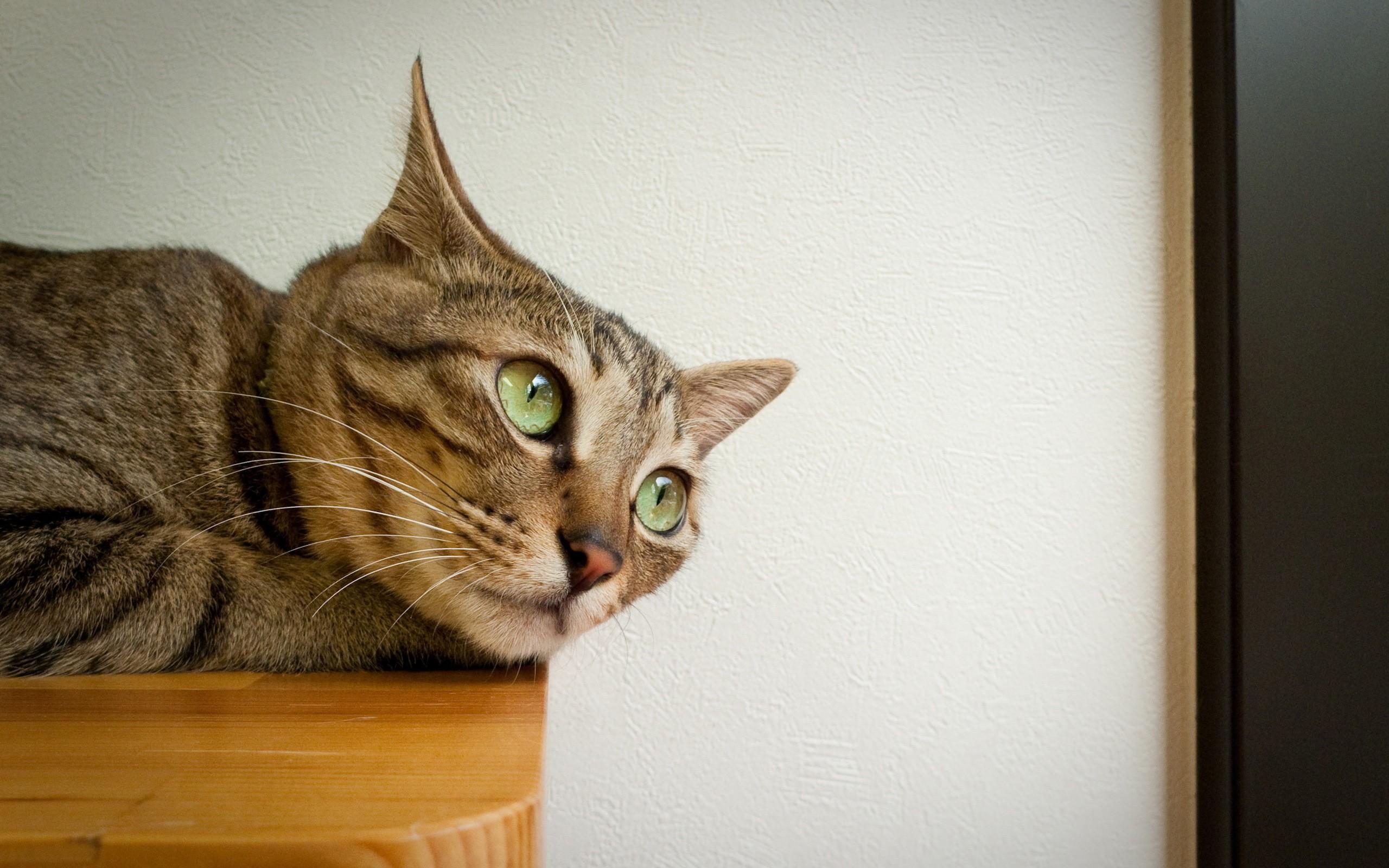 Un hermoso gato - 2560x1600