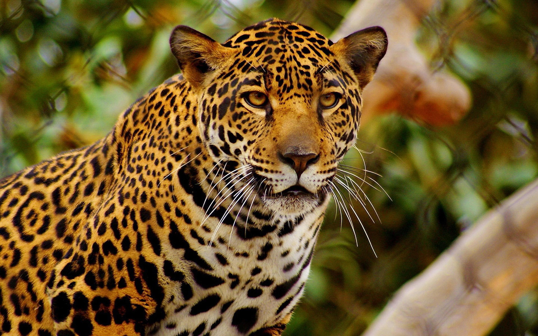 Un jaguar - 2880x1800
