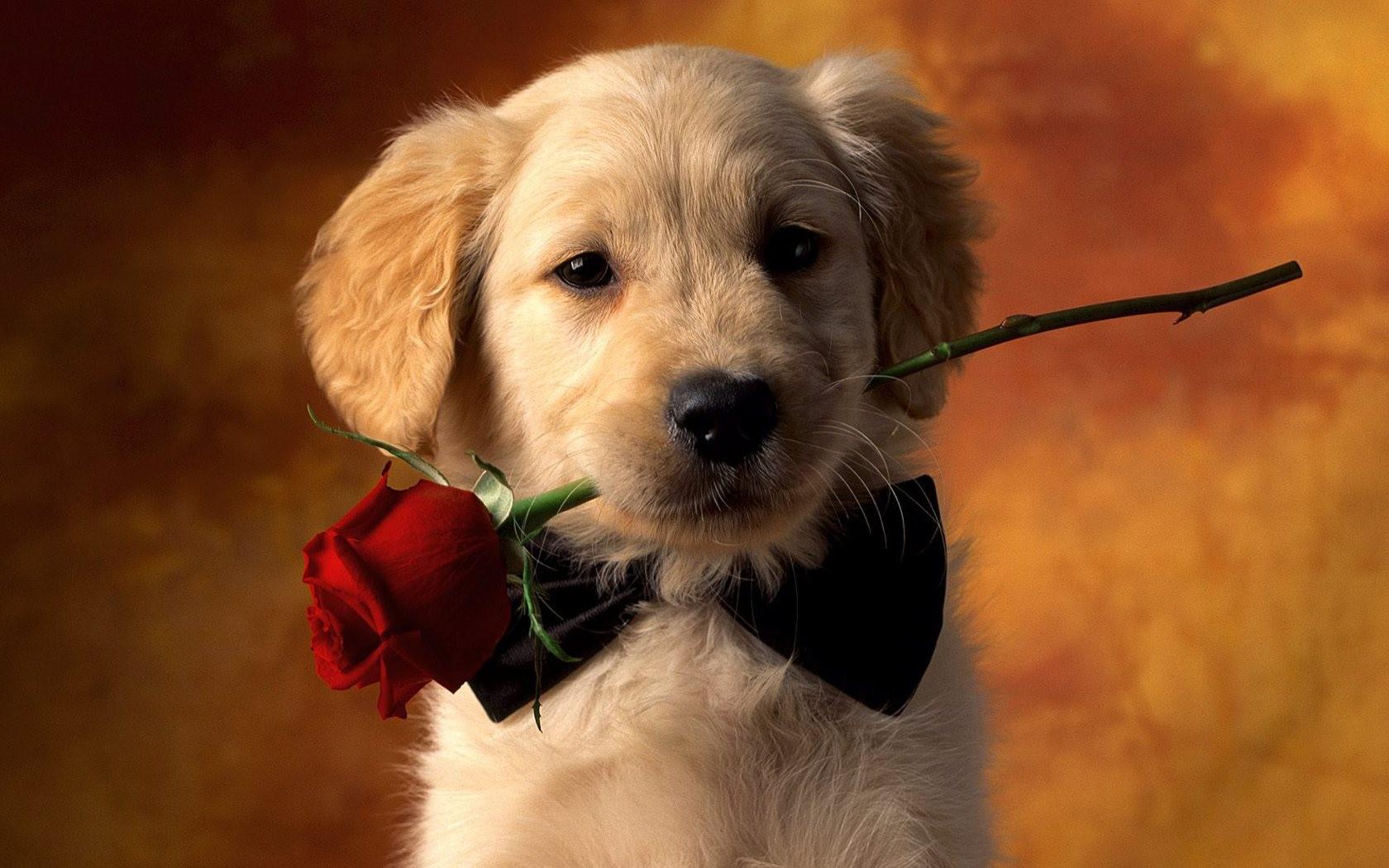 Un perro y una rosa - 1680x1050