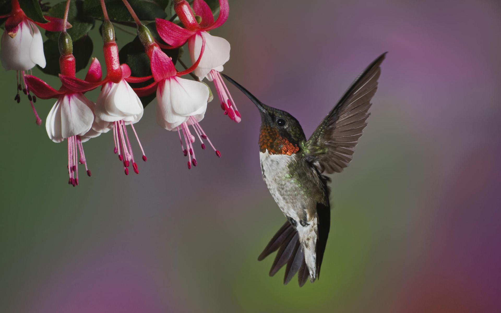 Un picaflor volando en las flores - 1920x1200