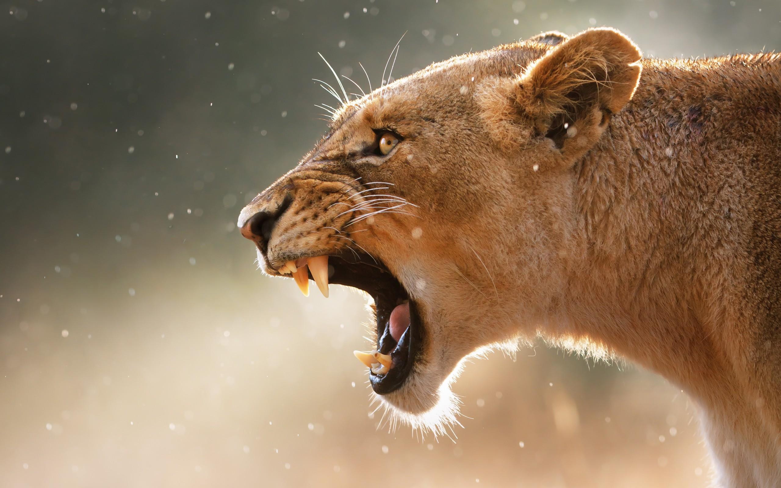 Un puma con boca abierta - 2560x1600