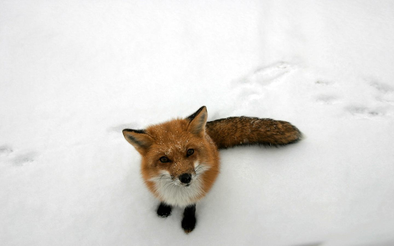 Un zorro en la nieve - 1440x900