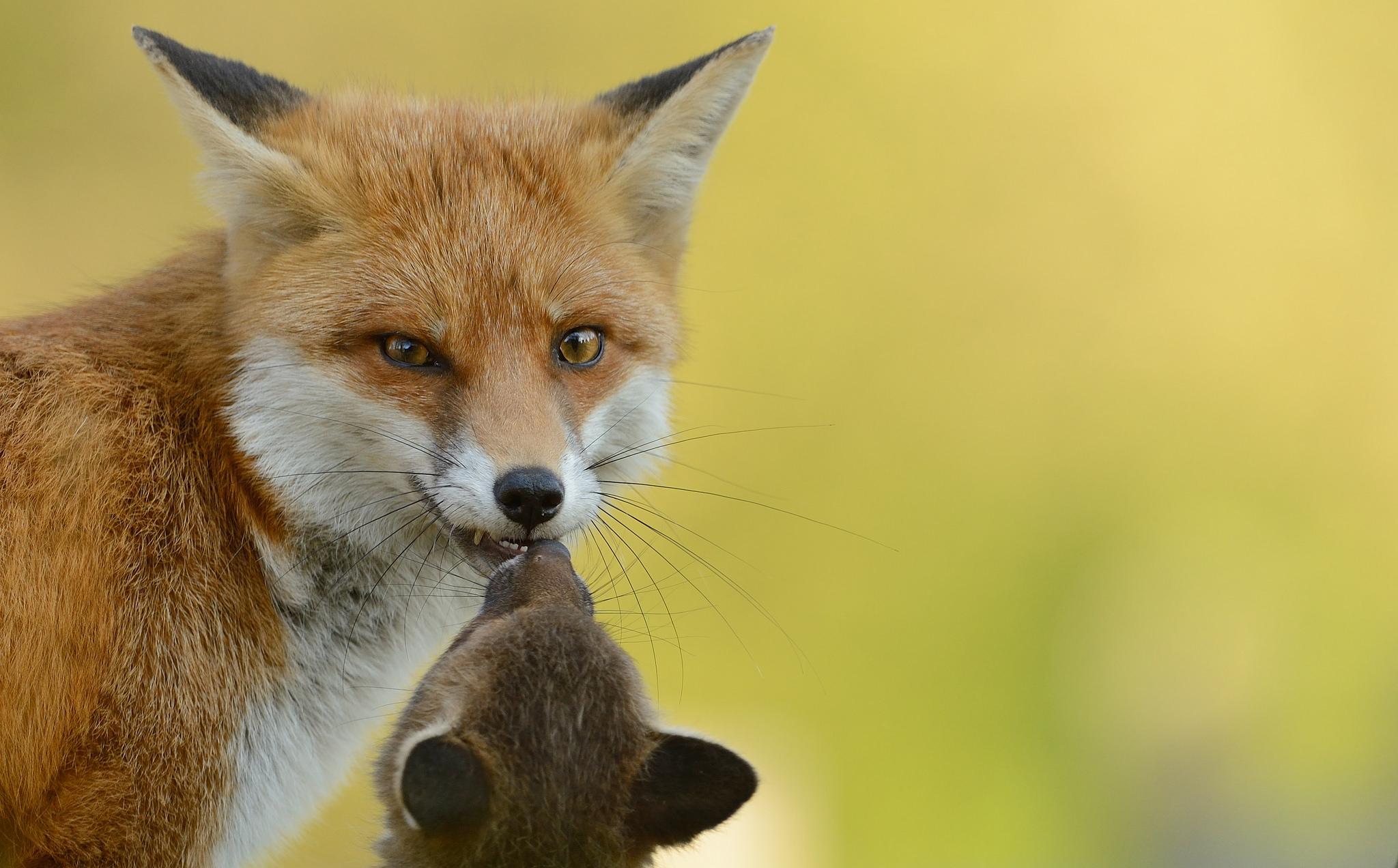 Un zorro rojo con su cría - 2048x1272