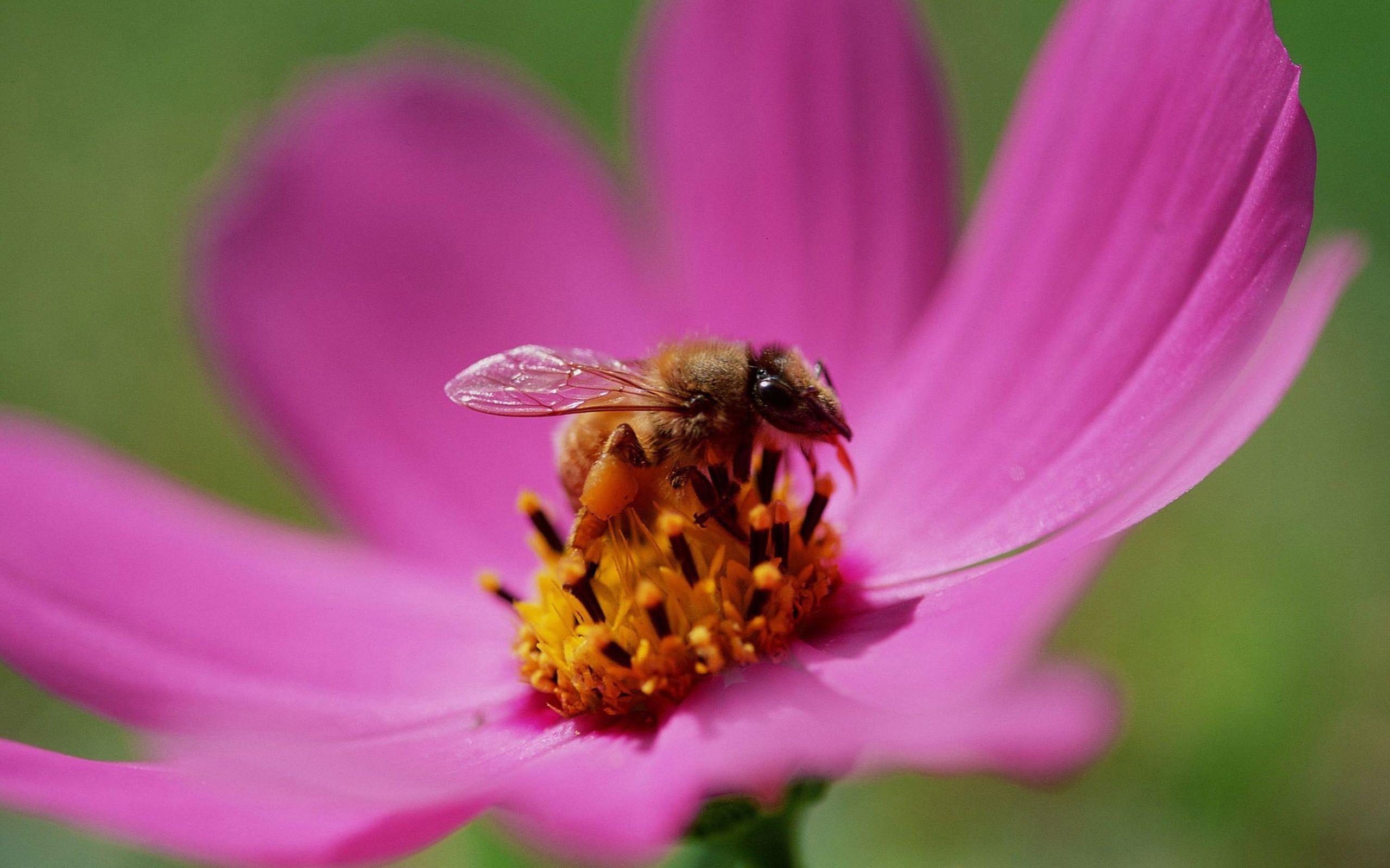 Una abeja en una flor - 2560x1600