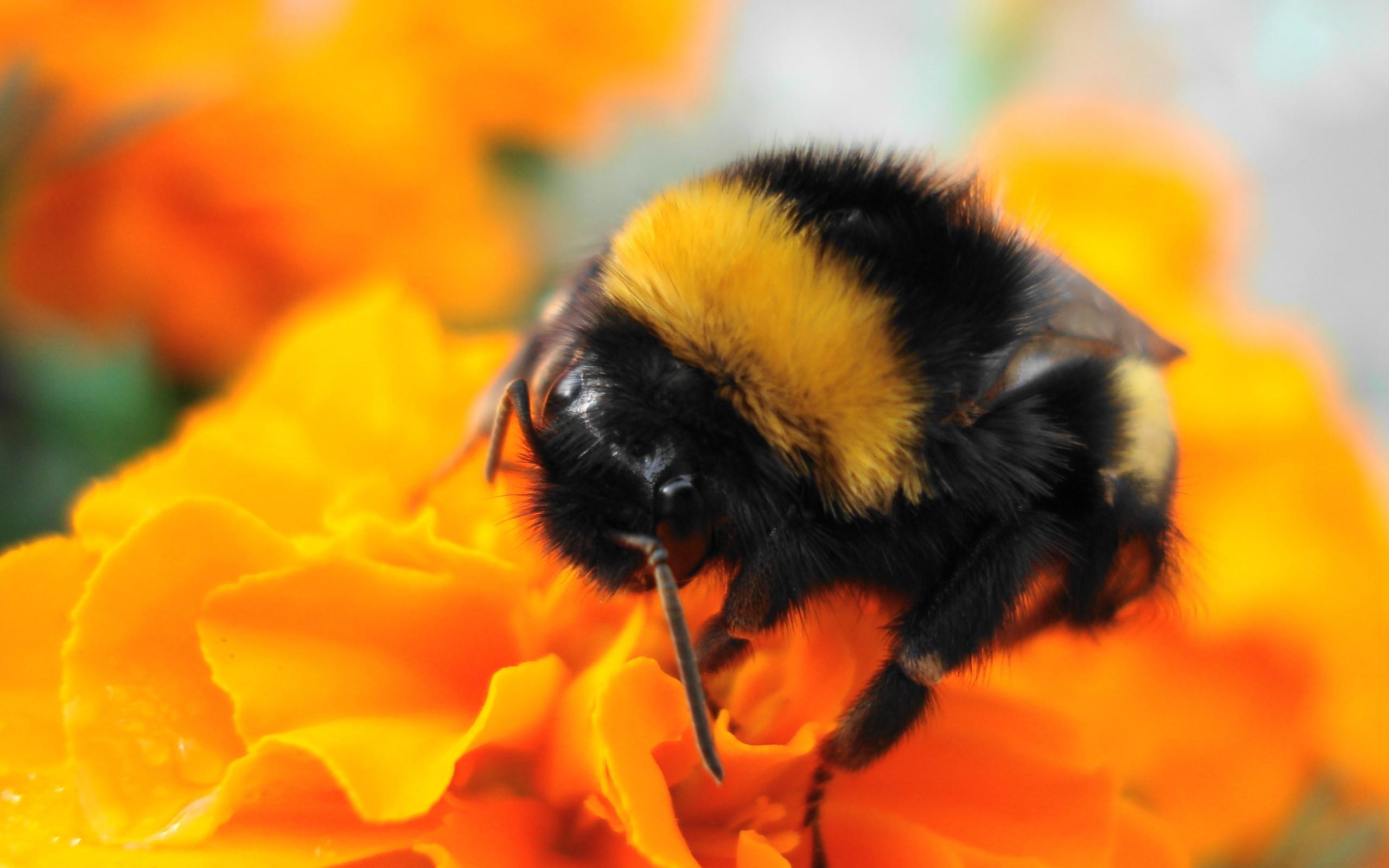 Una abeja y una flor amarilla - 2560x1600