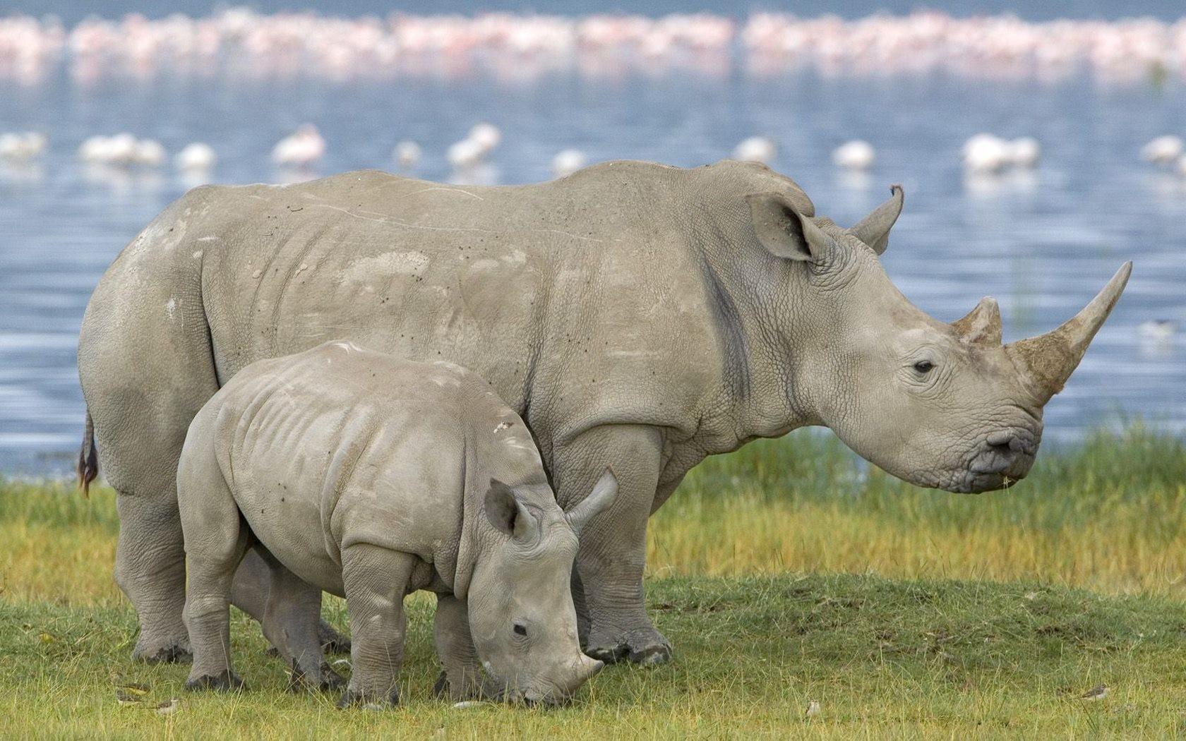 Una familia de rinocerontes - 1680x1050