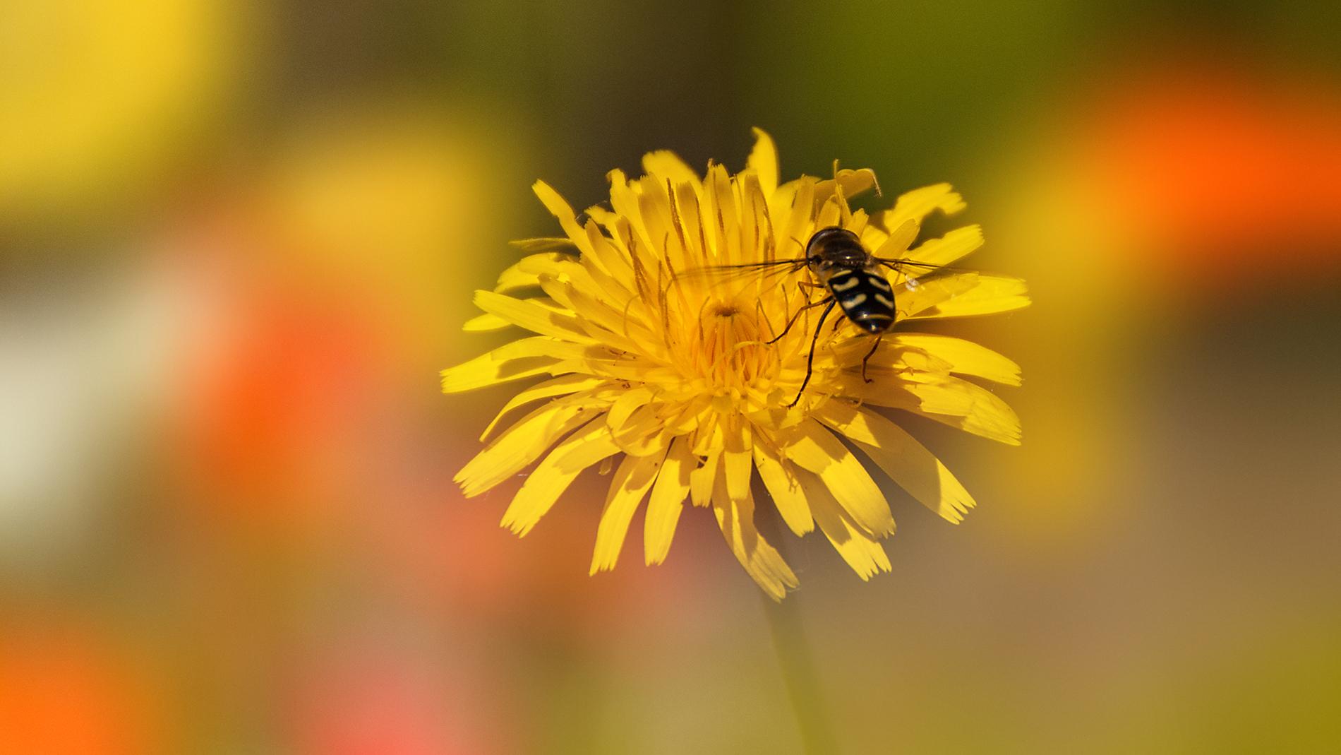 Una flor amarilla y una abeja - 1900x1069