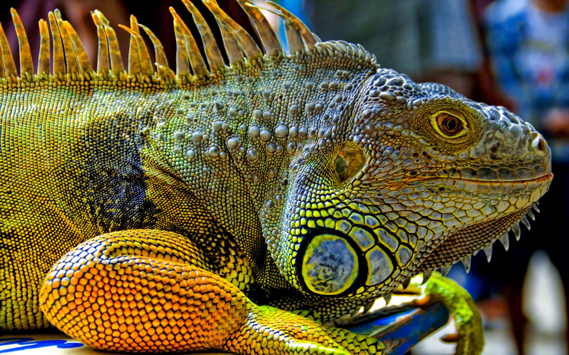 Una gran iguana verde - 1920x1200