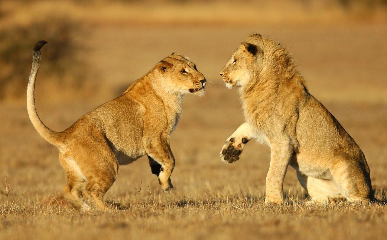 Una pareja de leones - 1280x796