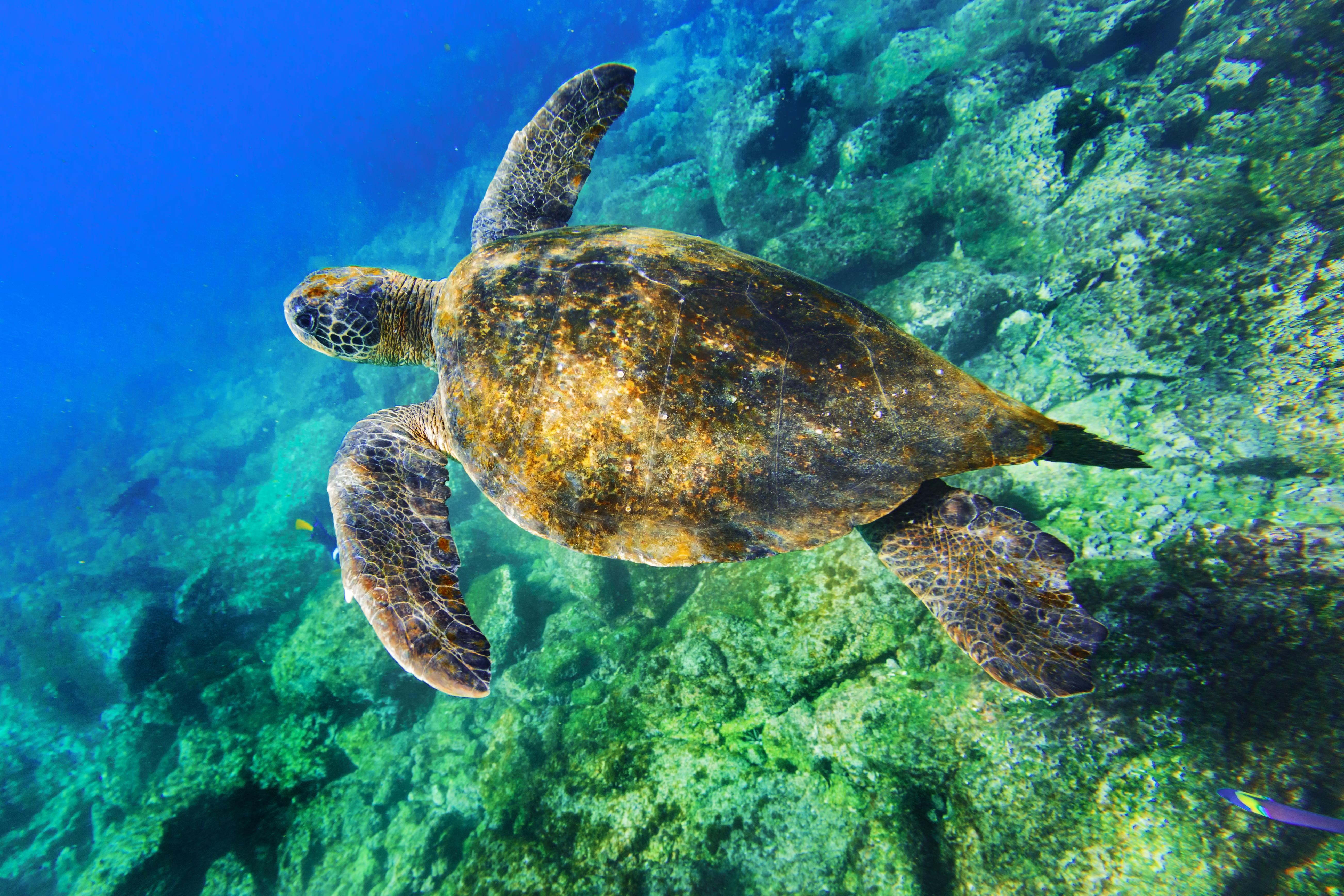 Una tortuga buceando en el mar - 5209x3473