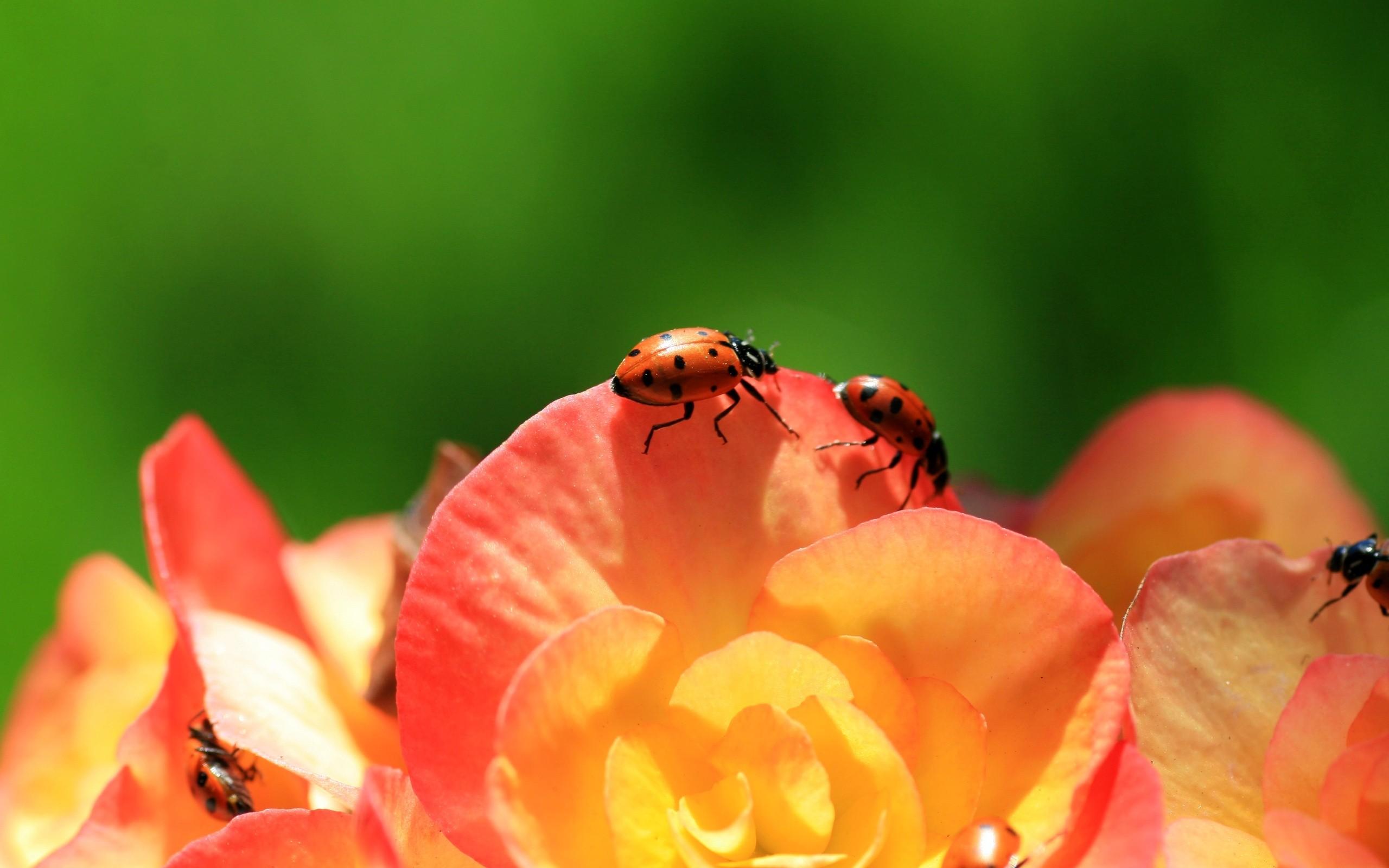 Unas mariquitas en las flores - 2560x1600