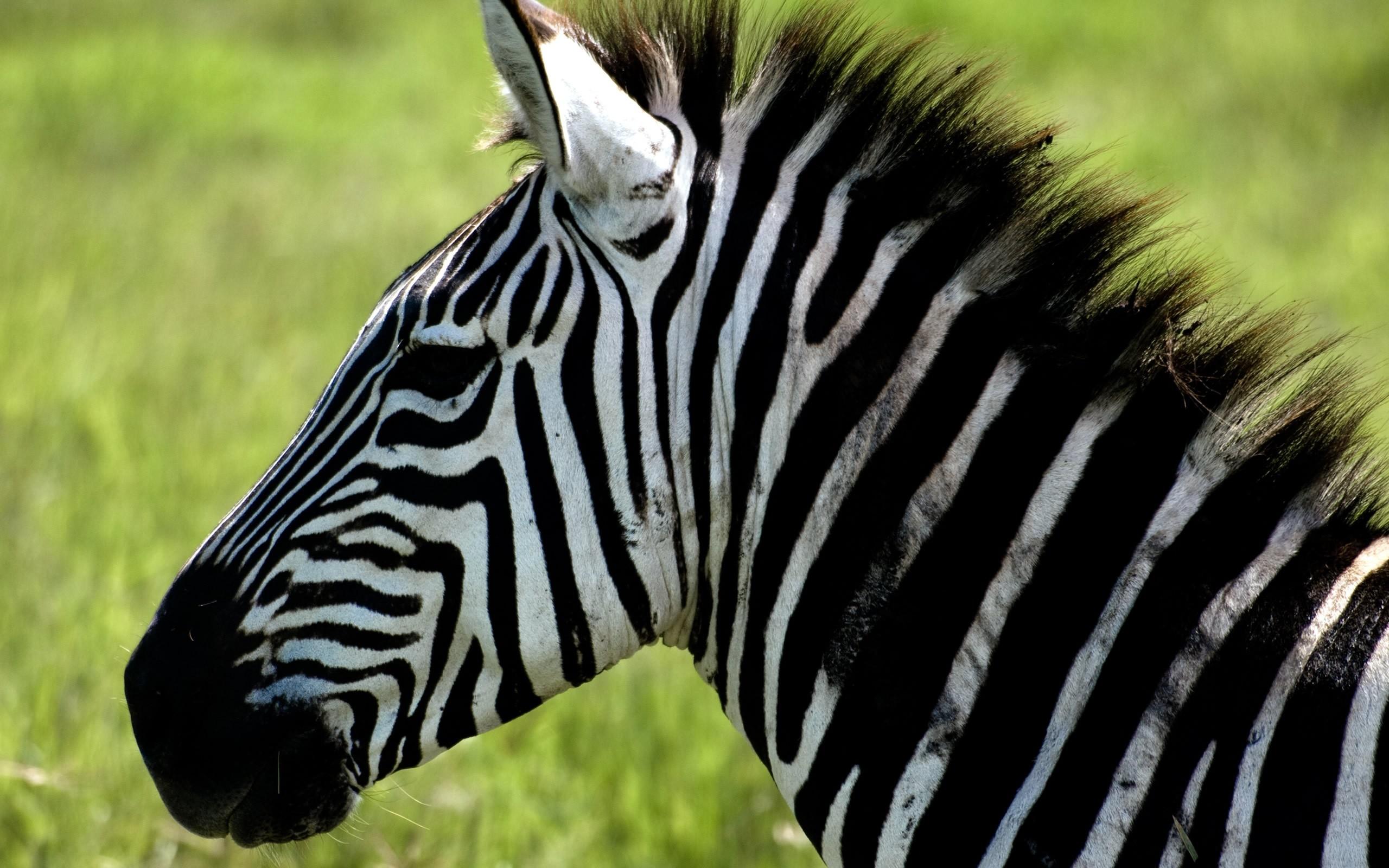 Zebra o Cebra? - 2560x1600