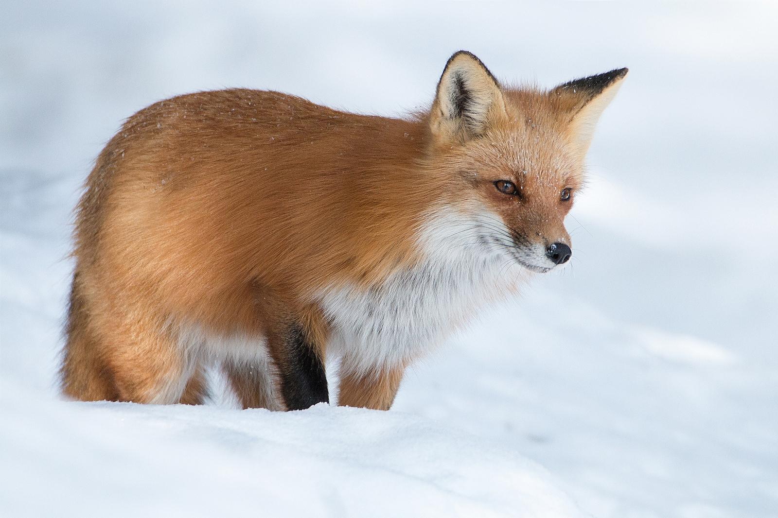 Zorro rojo en las nieves - 1600x1066